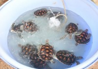 Turtle Release at Skye Beach Club Phuket