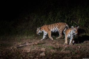Breeding Indochinese of Tigers Confirmed by Study