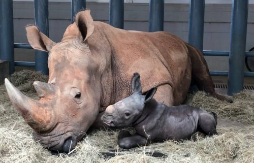 Endangered White Rhino Baby Born at Disney's Animal Kingdom